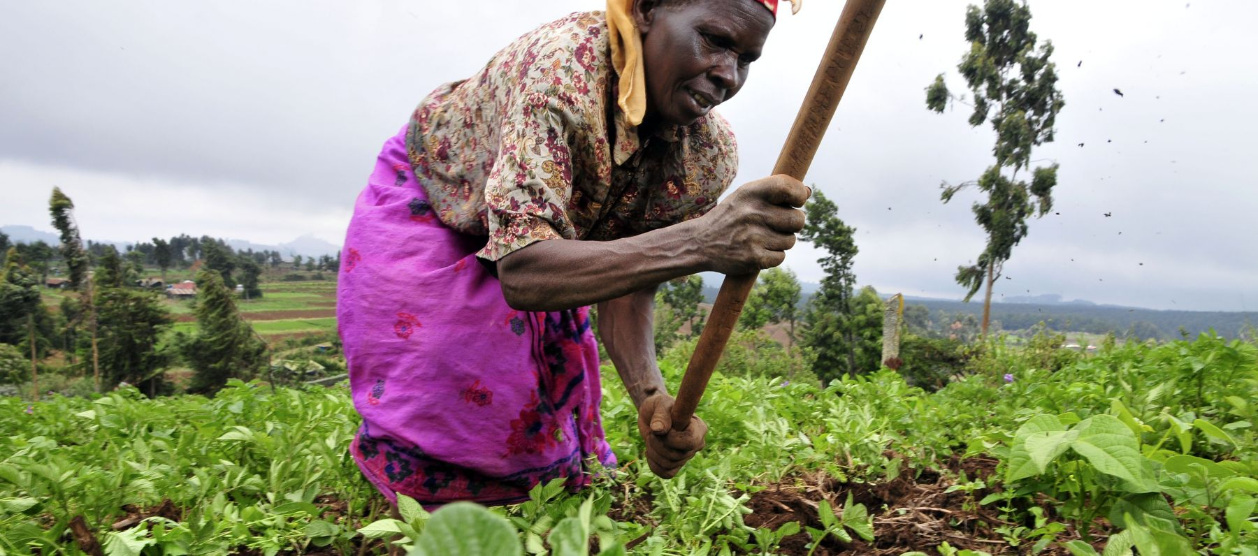 A woman tends to her crop in Kenya.